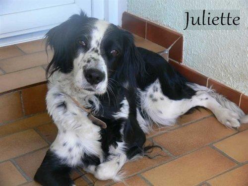 Juliette Femelle Croisee Epagneul 2 An S En Spa Sos Chiens