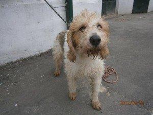 Toby, très gentil mâle Griffon Vendéen de 3 ans, en SPA toby1-300x225