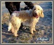 Chipie, superbe femelle Griffon Vendeen LOF de 5 ans, en SPA dans Souvenirs de nos amis chipie1