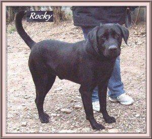 Rocky, superbe mâle Labrador noir de 6 ans, en SPA dans Ils ont trouvé un foyer rocky-300x275