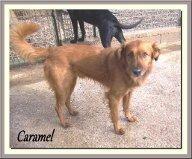 Caramel, petit mâle X Epagneul de 4 ans et demi, en SPA dans Les Moyens caramel