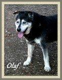 Olaf, mâle X Husky de 10 ans, en SPA dans Souvenirs de nos amis olaf