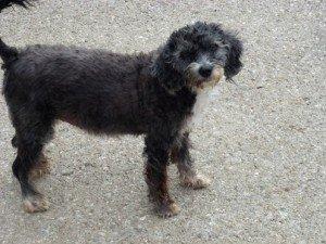 Savana, mimi petite chienne X Caniche de 11 ans cherche foyer dans Souvenirs de nos amis savana-300x225