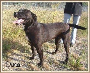 Dina, jolie chienne X Labrador de 3 ans, en SPA dans Les Moyens dina-300x243