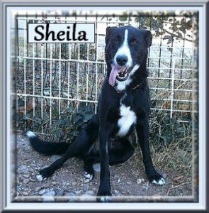 Sheila, femelle X Border Collie de 1 an, en SPA dans Ils ont trouvé un foyer sheila-295x300
