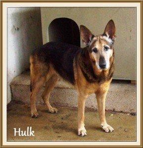 Grand SOS pour Hulk, mâle Berger Allemand de 12ans, en SPA dans Ils ont trouvé un foyer hulk-289x300