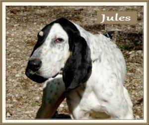 Jules, beau mâle Gascoin Saintongeois de 6 ans, en SPA dans Ils ont trouvé un foyer jules-300x253