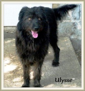 Ulysse, très beau mâle X Griffon noir de 3 ans, en SPA dans Les Moyens ulysse-280x300
