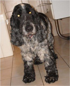 Bosco, beau mâle Cocker Anglais de 4 ans, en SPA dans Ils ont trouvé un foyer bosco-243x300