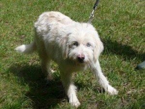 Chrystal, jolie chienne X Griffon yeux bleus de 1 an,en SPA dans Ils ont trouvé un foyer chrystal-300x225