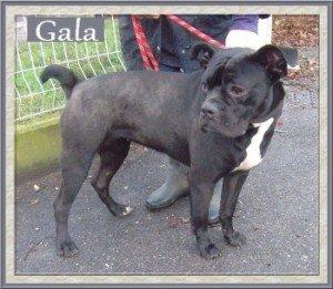 Gala, très gentille chienne X Bouledogue de 1 an, en SPA dans Ils ont trouvé un foyer gala-300x261