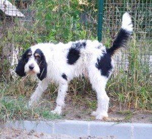 Kalif, très gentil mâle X Griffon de 2 ans, en SPA dans Les Moyens kalif-300x276