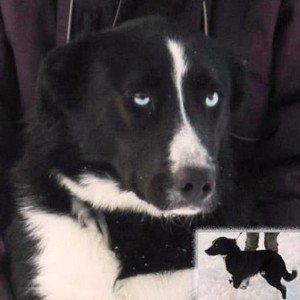 Saphir, Superbe mâle X Border Collie de 9 mois, en SPA dans Ils ont trouvé un foyer saphir-300x300