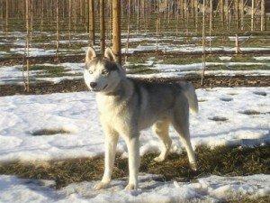 Jiro, superbe mâle Husky de 1 an 1/2, en SPA dans Ils ont trouvé un foyer jiro-300x225