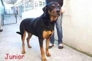 Junior, mâle X Beauceron de 8 ans, en SPA dans Souvenirs de nos amis junior-300x200