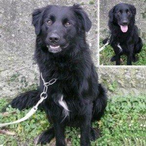 Kenzo, mâle X Golden Retriever noir de 2 ans 1/2, en SPA dans Ils ont trouvé un foyer kenzo-300x300
