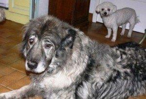 Grand SOS pour Saphir, 1 chienne adorable, 50 kgs d'amour dans Ils ont trouvé un foyer saphir-300x204