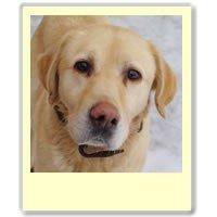 Bouli, gentil mâle Labrador Sable de 5 ans 1/2, en SPA dans Ils ont trouvé un foyer bouli