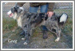 Greg, beau mâle Berger Australien de 1 an, en SPA dans Ils ont trouvé un foyer greg-300x206