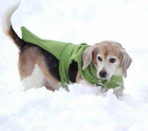 SOS pour ROX et RANTAPLAN, 2 beagles retraités de labo dans Ils ont trouvé un foyer rox-300x267